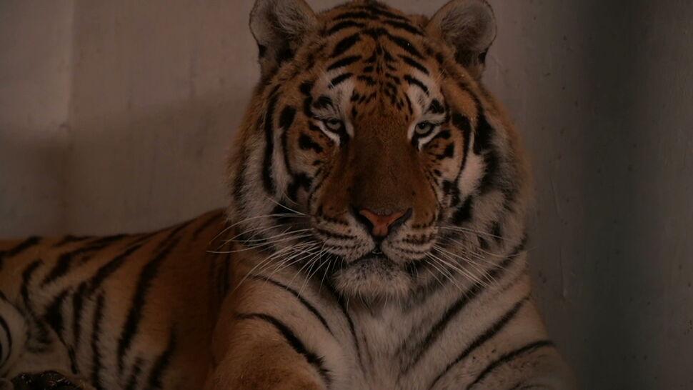 W nocy tygrysy z Poznania ruszą do Hiszpanii