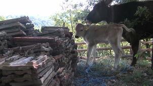Najsławniejsza krowa w Europie ma potomka. Nazwano go na cześć europosła