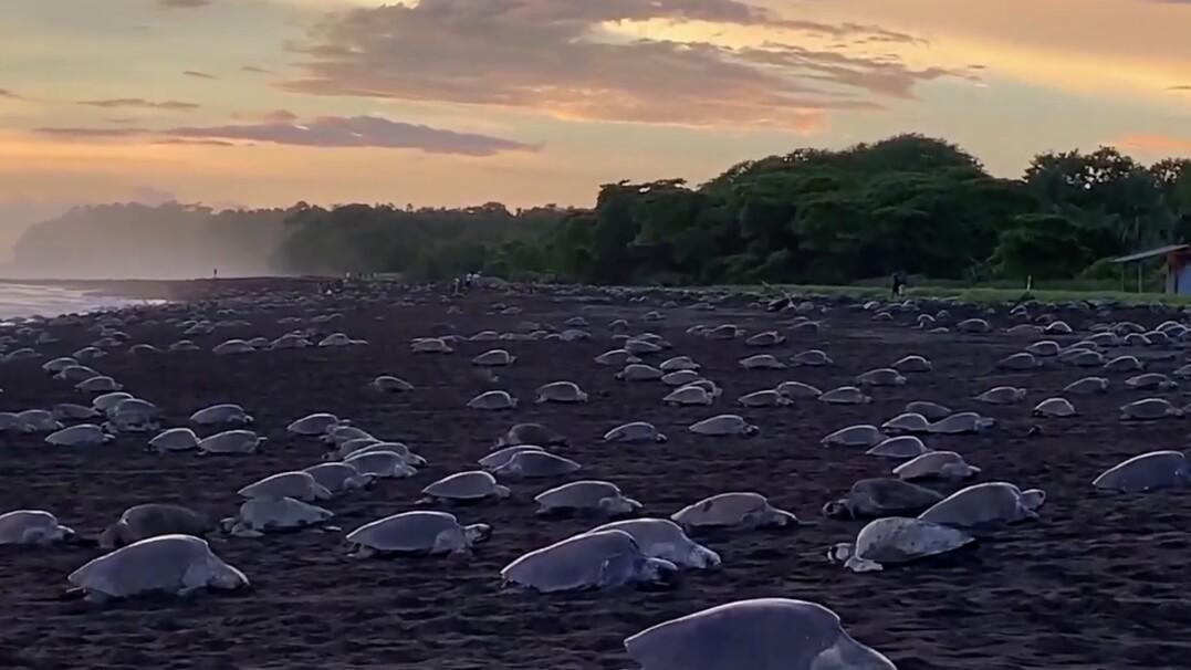 Setki żółwi na jednej plaży. To jedno z niewielu miejsc na świecie, w którym dochodzi do Arribady