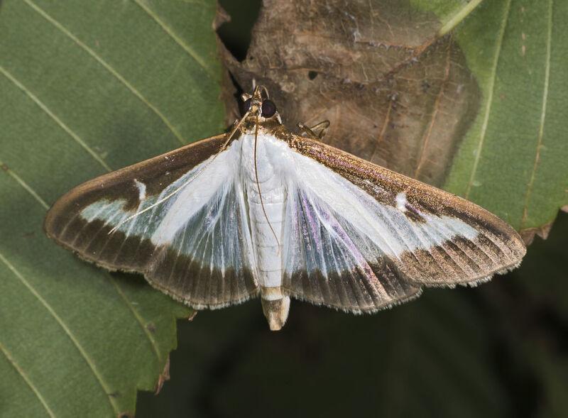 Ćma bukszpanowa, zwana fachowo - przezierką bukszpanową (Cydalima perspectalis)