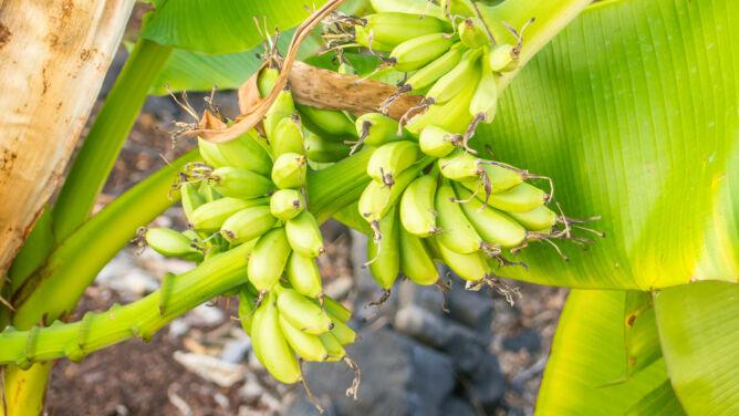 Banany, które smakują jak lody