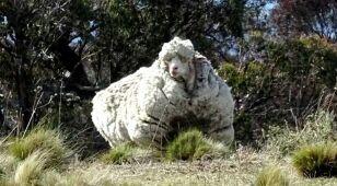 Nie żyje najbardziej zarośnięta owca świata