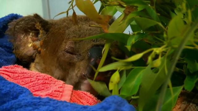 """""""Byłam przerażona. Widziałam, jak wybiega z płomieni"""". Teraz koala walczy o życie"""